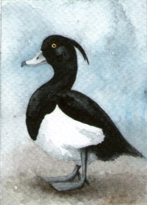 448_tufted_duck